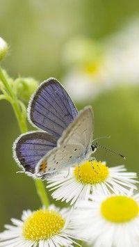 Motylek na przymiotnie