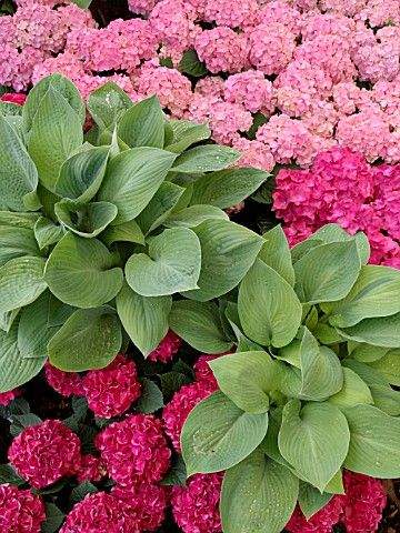 hostas and hydrangeas...gorgeous!!: Gardens Ideas, Cough, Favorite Flowers, Green Thumb, Side Yard, Flowers Beds, Pink Hydrangea, Gorgeous Partners, Hydrangeas Gorge