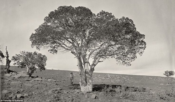 Tree-mendous: Oak Grove, White Mountains, Sierra Blanca, Arizona in 1873. In 1881, O'Sullivan returned to his parent's home in Staten Island where he died from tuberculosis. Seen as an irony as he had survived some of the most inhospitable conditions known to man beforehand, such as Death valley and the Grand Canyon