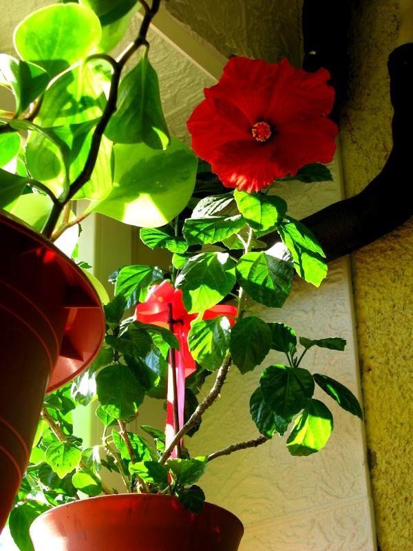 Piros hibiszkusz