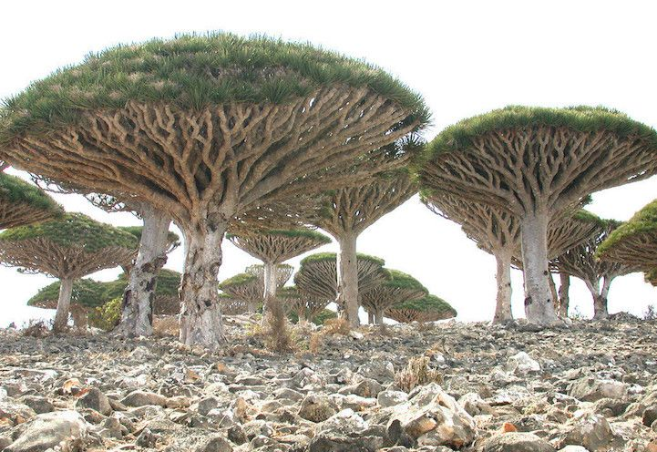 """Nestled within the blue waters of the Indian Ocean is Socotra, a small island that's an offshore territory of Yemen. Located 220 miles from the mainland, the isolated environment is home to many unique flora and fauna—in fact, 30% of its plant life doesn't grow anywhere else. This has appropriately earned it the nickname """"the most alien-looking place on Earth."""" #travel"""