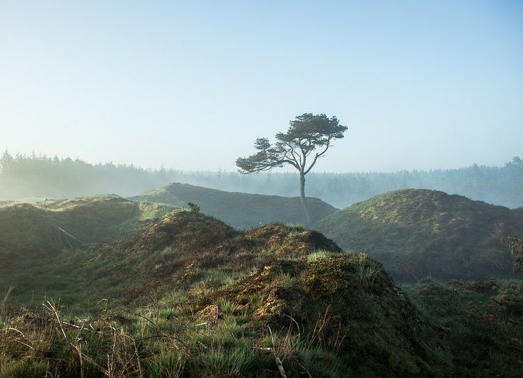 Pine in Nationalpark Thy