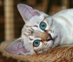 Cheetoh Cat Breed - Cat Information & Pictures
