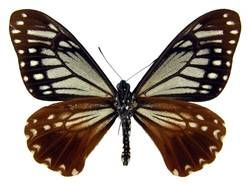 Tawny Mime (Papilio agestor) Found in Southeast Asia and Australia. Mimics have evolved to resemble other inedible butterflies in order to garner extra protection from predators.