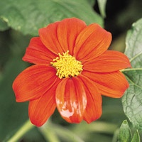 Tithonia rotundifolia By late summer, many of the flowers that have colored the garden all season begin to look tired. Include the late-blooming Mexican sunflower to shift the garden from summer through autumn in grand style. The bold plants, available in many nurseries and home and garden centers, grow almost 6 feet tall. Fiery orange, 2-inch blossoms appear like the blazing sun low in the sky, seeming to illuminate everything around them.