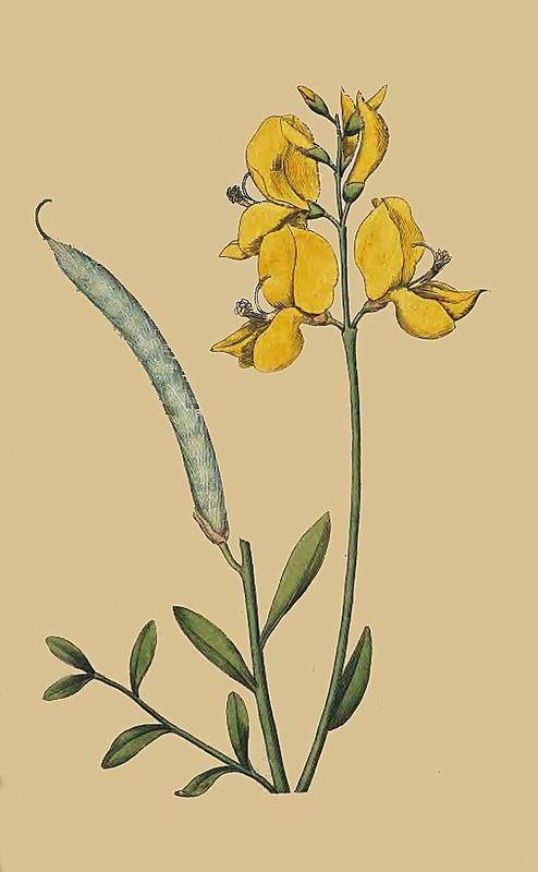 85. Spartium Jungeum. Spanish Broom.