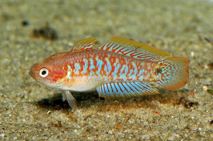 56 best freshwater gobies images on pinterest fish for Aggressive saltwater fish
