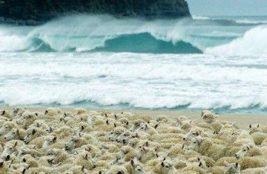 Surf & Sheep ~ at beautiful Curio Bay. South Island, New Zealand.