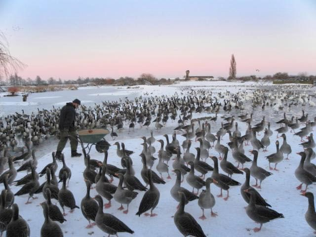 Pink-footed geese await a feed at Slimbridge Wetland Centre, Gloucestershire.