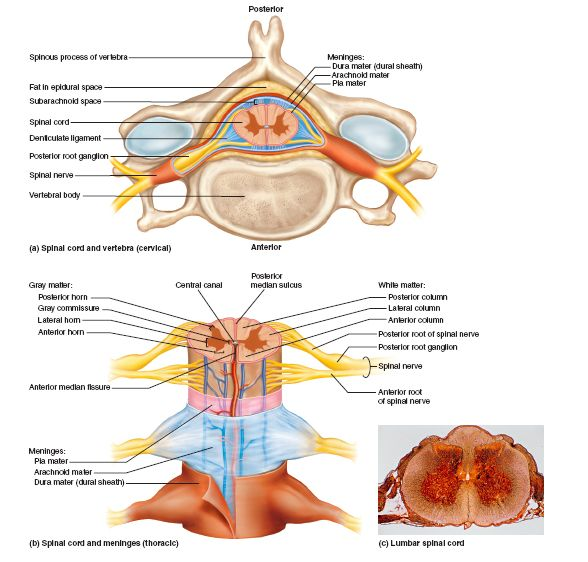 Cross-Sectional Anatomy of the Spinal Cord. (a) Relationships to the vertebra, meninges, and spinal nerve. (b) steal of the spinal cord, meninges, and spinal nerves, (c) cross section of the liar spinal cord with spinal nerves The spinal cord and brain are enclosed in three fibrous membranes called meninges. They separate the soft tissue of the CNS from the bones of the vertebrae and skull. From superficial to deep, they are the dura mater, arachnoid mater, and pia mater