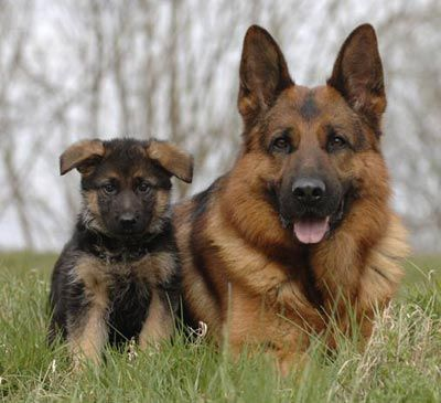 Resultado de imagem para little dog brown pastor