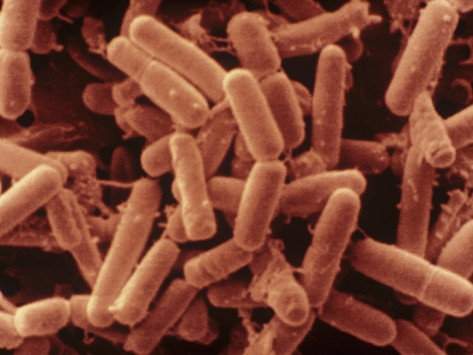 Bacillus Subtilis Bacteria Produce Bacitracin. Present in Hay Photographic Print
