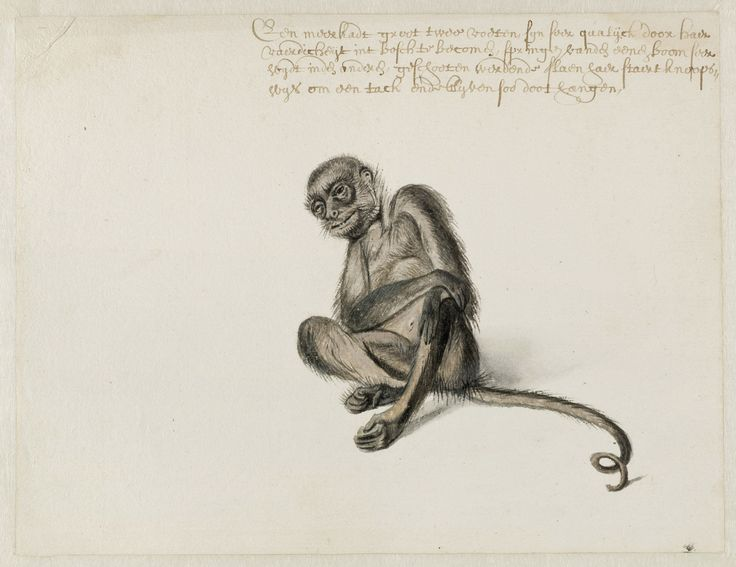Spider Monkey Frans Post (1612–1680), watercolor and gouache, with pen and black ink, c. 1638–44. Noord-Hollands Archief, Haarlem