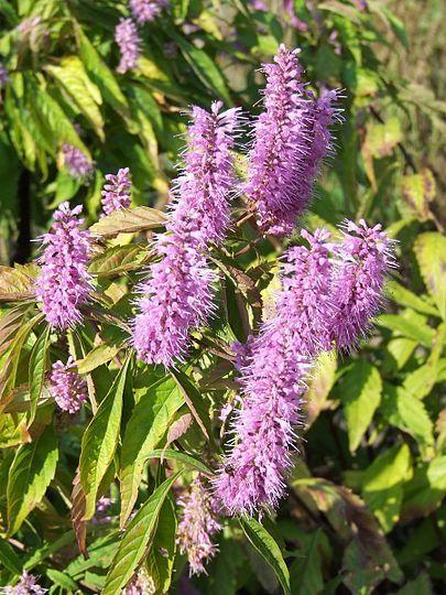 Název: Klasnatka Latin. název: Elsholtzia stauntonii Čeleď: hluchavkovité Latin. čeleď: Lamiaceae