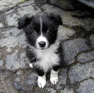 Border Collie Puppy just waiting to be noticed. I would pick up this one and secrete about my person and quietly try to obscond with him/her.
