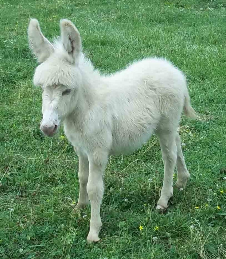 don't know that white donkeys are that rare but this one's just so cute