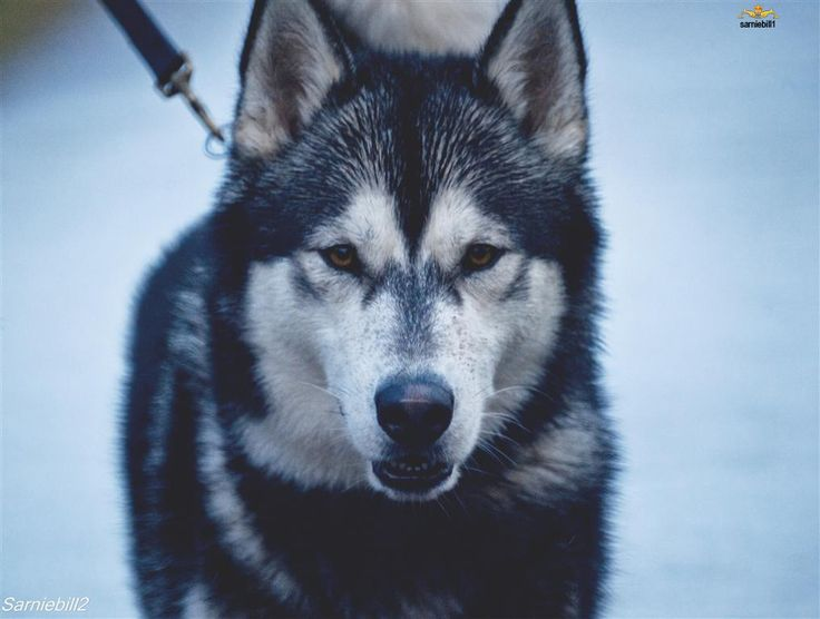So, for I don't know how long I've been trying to persuade my boyfriend that Huskies are the way to go for dogs. I finally gave up when for the thousandth time he said never because they're too much work. A husky walked past yesterday and he said, I think we should get one of those dogs. WHAT?!?! Not like I'm complaining because it means our first dog will be a husky. But seriously?!?!?! *sigh* :P I want one that looks as much like a wolf as possible!!