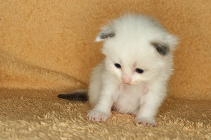 2014: Lightning A Zwollywood Cat. 3 Weeks old Ragdoll kitten, seal bicolour. Cars litters.