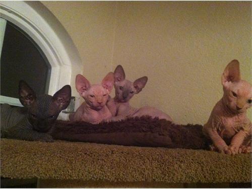 sphynx#kittens#available# | barebottom sphynx | Sphynx