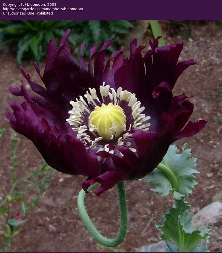 Opium Poppy 'Lauren's Grape' (Papaver somniferum)