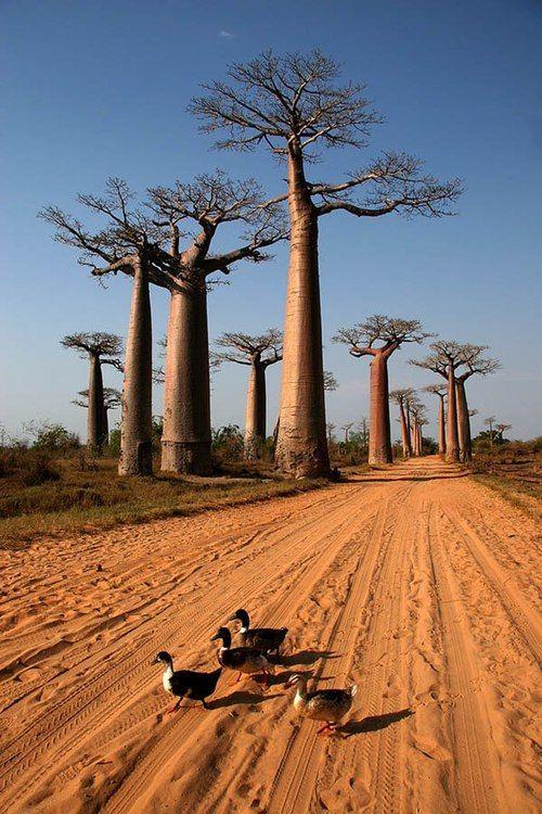 howiviewafrica:        Baobab trees in Madagascar.