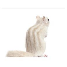 Siberian chipmunk - Eutamias sibiricus Poster