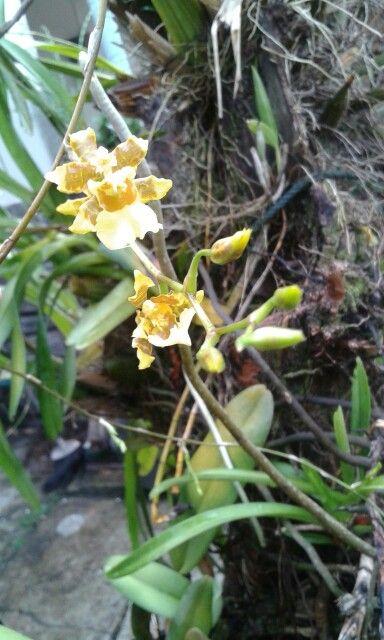 Orchid - Koleksi anggrek2