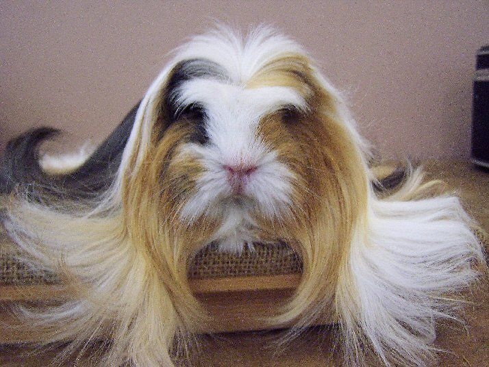 Gandalf the long-haired cavy.  I didn't even know such a thing existed.