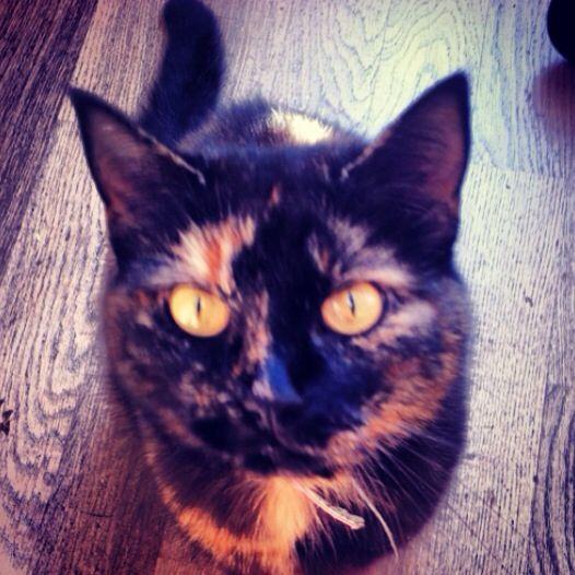 #cat #schildpatt