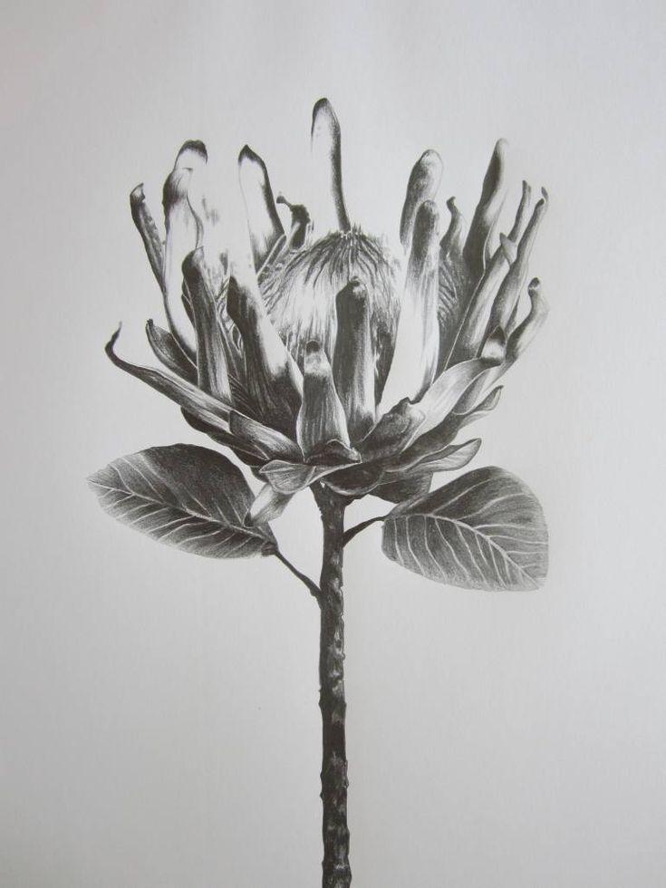 """Saatchi Art Artist Ira van der Merwe; Drawing, """"Protea Study IV"""" #art"""