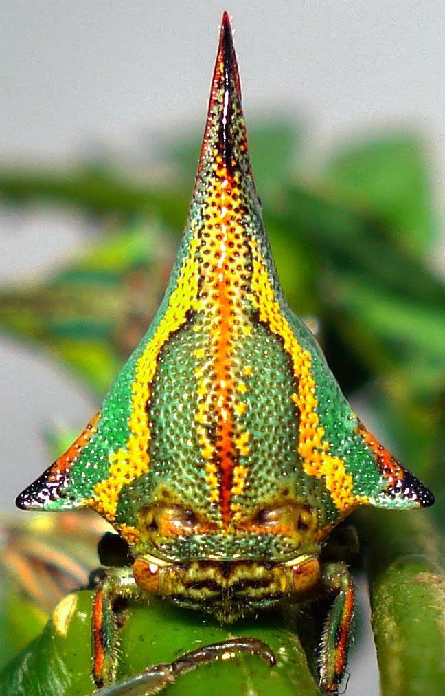 ¿Una espina? No, Umbonia spinosa (un insecto) La especie Umbonia spinosa, conocida vulgarmente como bicho espino, imita a la perfección la ...