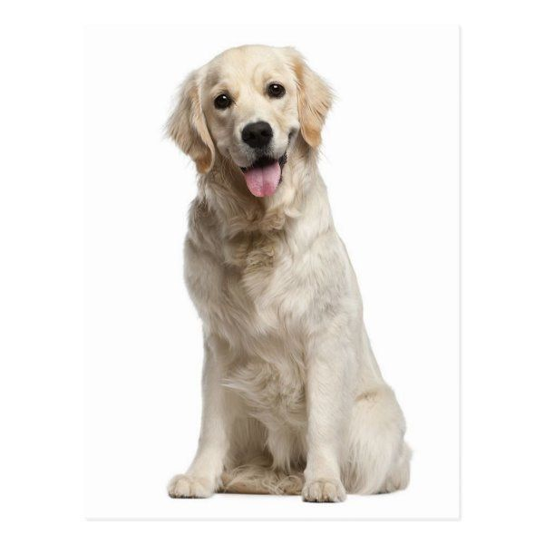 Five Universal Personality Traits Of The Golden Retriever Dogs Golden Retriever Retriever Puppy Golden Retriever