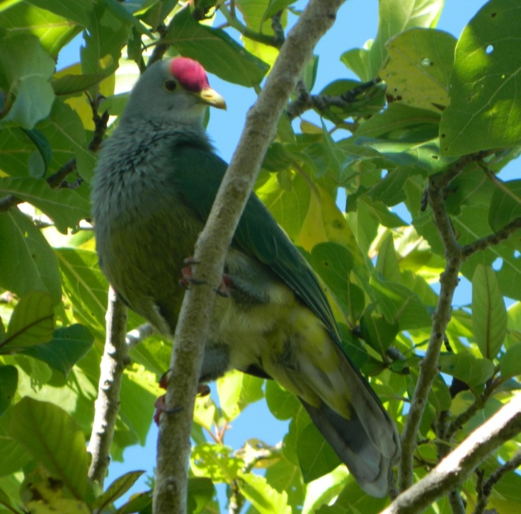 The Henderson Fruit Dove (Ptilinopus insularis), also known as Scarlet-capped Fruit Dove, is a species of bird in the Columbidae family.[1] It is endemic to Henderson Island in the South Pacific Pitcairn Island group.