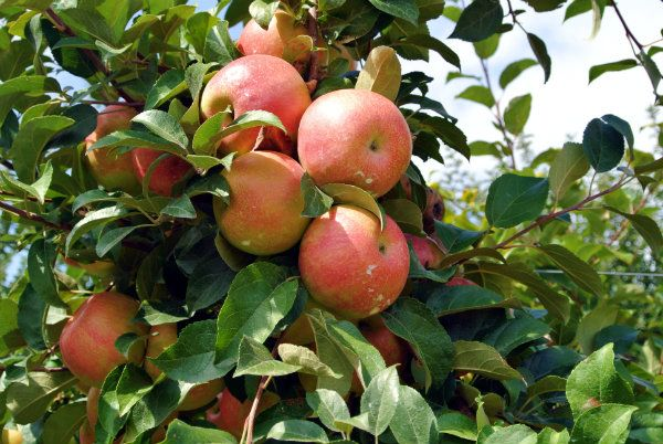 Are Honeycrisp Apples Good for Baking Pies or Cobbler