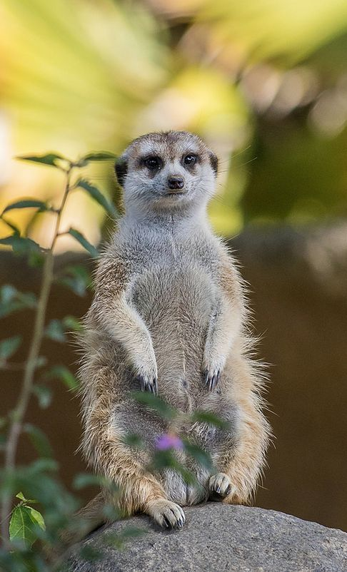 151 Best Meerkat Madness Images On Pinterest San Diego Zoo Animaux And Wild Animals