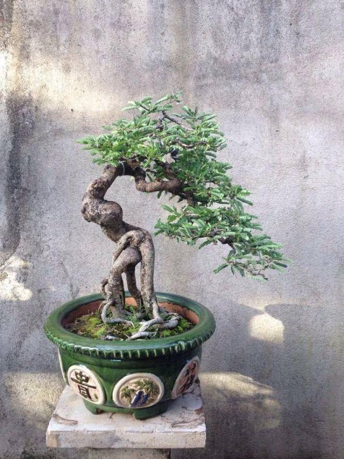 Bonsai Exposed Root in 2020 Bonsai art, Indoor bonsai