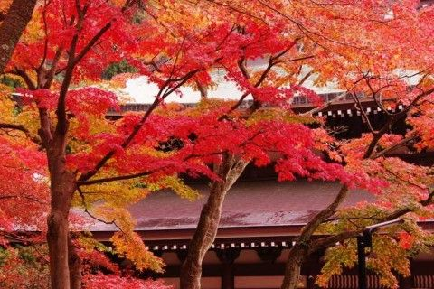 kamakura#北鎌倉#円覚寺#紅葉#鎌倉五山第二位