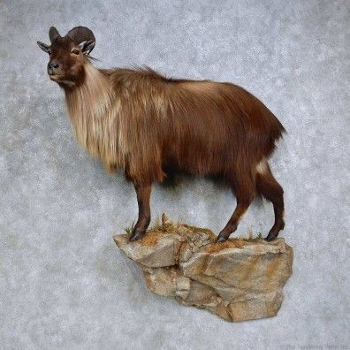 This World Class Tahr taxidermy mount is for sale @thetaxidermystore.com