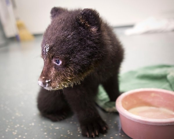 One messy eater! (Carli Davidson/Oregon Zoo): Cute Animal, Black Bears, Bears Cubs, Animal Track, Adorable Bears, Baby Animalss, Baby Pictures, Baby Bears, Animal Too