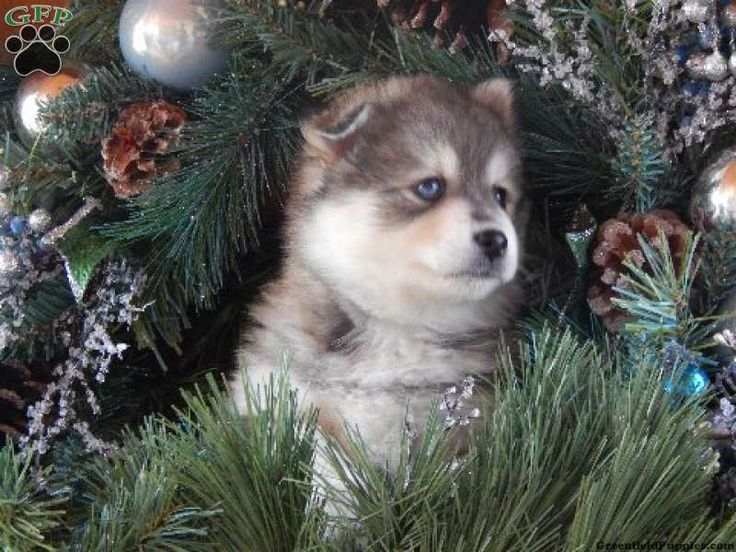 113 best images about pomsky puppies for sale  on pinterest