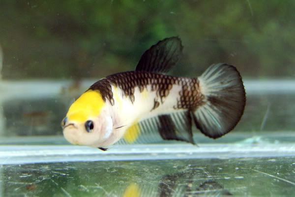 95 best images about fishy stuff on pinterest tropical for Female koi fish