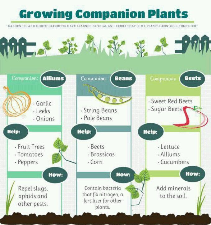 17 Best images about Companion gardening on Pinterest ... Leek Companion Plants