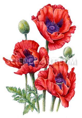 887 best popies images on pinterest poppies flower art and art floral oriental poppy watercolor illustration copyright 2012 marjorie leggitt simple flower drawingsimple mightylinksfo