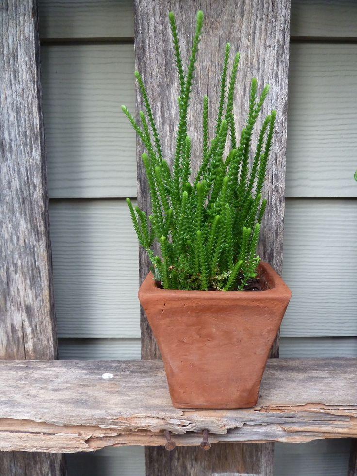Crassula muscosa princess pine simply succulent for Simply garden maintenance