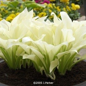 "~ ""White Feathers"" Hosta ~ Comes up white in the spring and turns a super pale green in the summer."