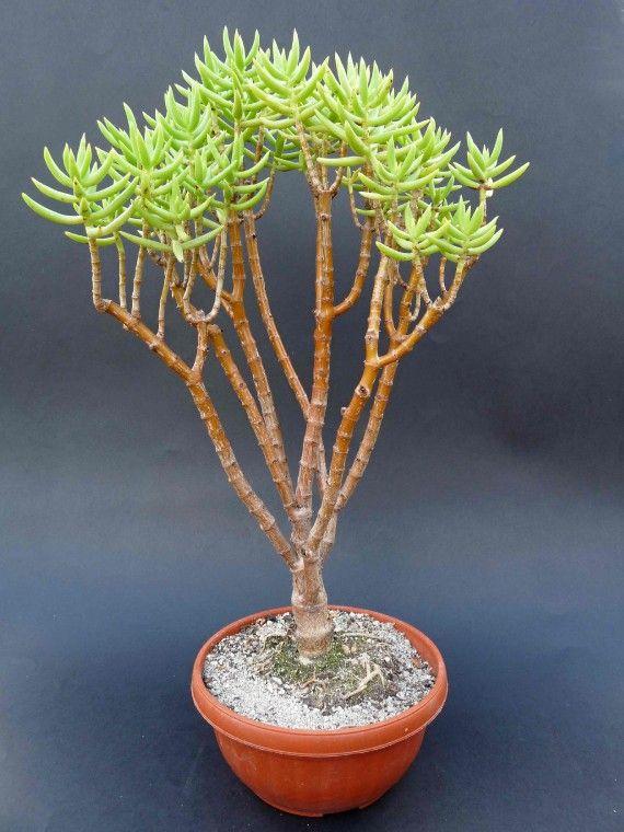 sukulenty - Eshop - NABÍZENÉ ROSTLINY - Crassula tetragona (Jižní Afrika)