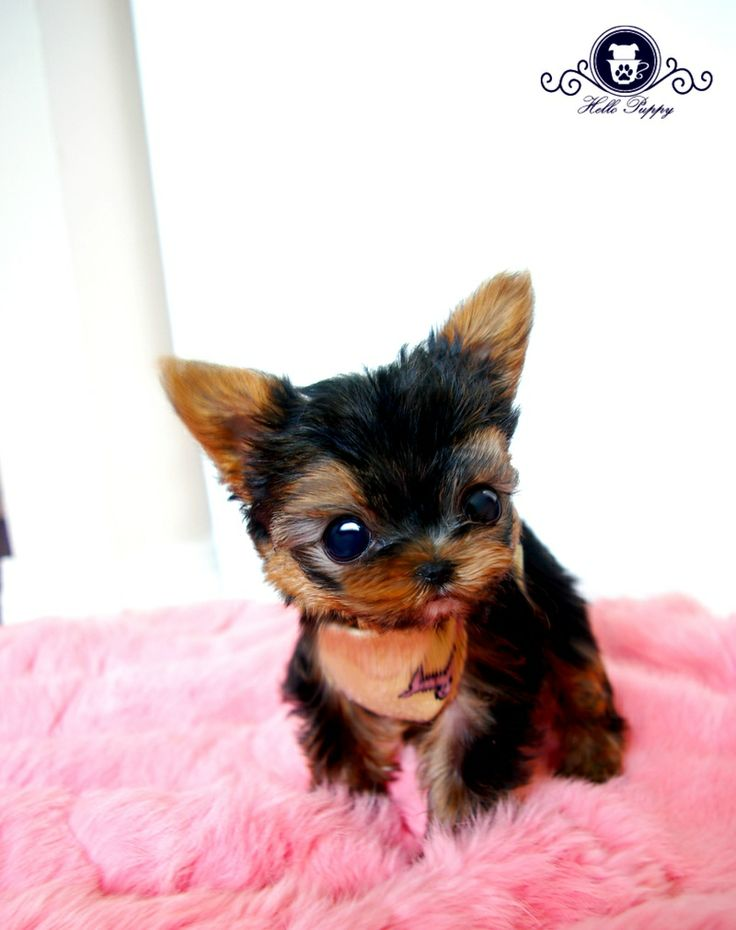 teacup yorkie breeders 1000 ideas about teacup yorkie on pinterest yorkie 7105