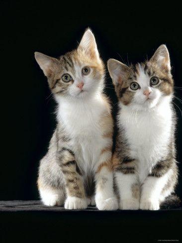 Two 8-Week Tabby Tortoiseshell and White Kittens
