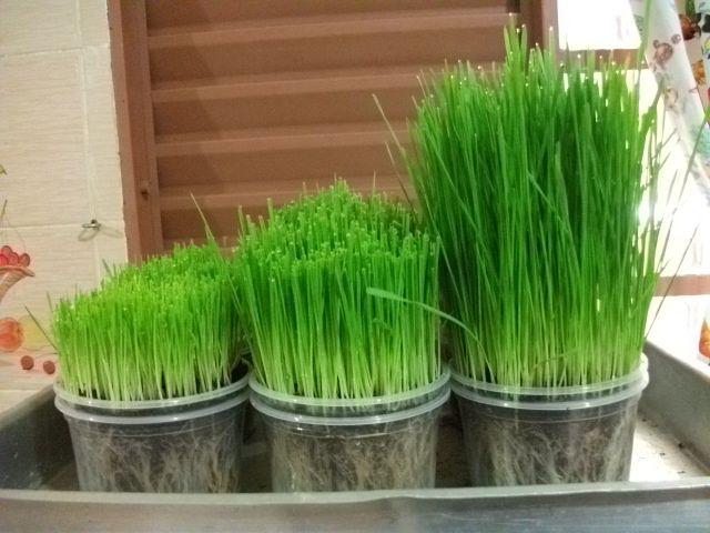 Terrapia * As sementes podem ser germinadas via três processos: no AR, na ÁGUA ou na TERRA. O material necessário é simples: semente de boa qualidade, vidro de boca larga, tule e elástico (ou uma simples peneira) para o processo no ar, uma vasilha...