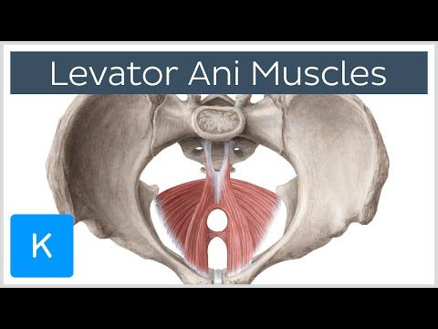 Levator Ani - Anatomy, Function and Pathology | Kenhub